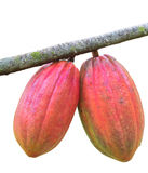 Cocoa pod on the tree Stock Photography