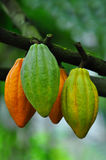 Cocoa pods. Assorted cocoa pods at the plantation Royalty Free Stock Image