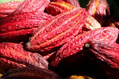 Cocoa pods. Many red cocoa pods , Peru Royalty Free Stock Images