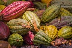 Cocoa pods Stock Image