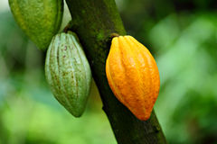 Cocoa pods Stock Photos