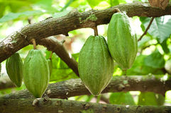 Cocoa pods. Cocoa or cacao pods on tree Royalty Free Stock Image