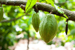 Cocoa pods. Cocoa or cacao pods on tree Stock Photography