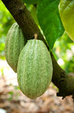 Cocoa pods. Cocoa or cacao pods on tree Stock Photos