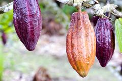 Cocoa Pods. Image of cocoa pods at a plantation in Malaysia Royalty Free Stock Photography
