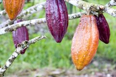 Cocoa Pods. Image of cocoa pods at a plantation in Malaysia Stock Images