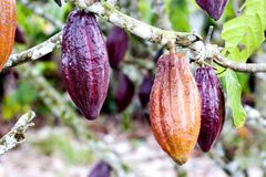 Cocoa Pods. Image of cocoa pods at a plantation in Malaysia Royalty Free Stock Photos