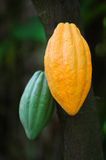 Cocoa Pods. Image of two cocoa pods at the plantation Stock Photo
