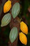 Cocoa Pods. On cocoa plant Stock Photos