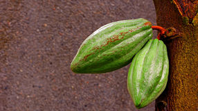 Cocoa pods. Image of two cocoa pods on the tree Royalty Free Stock Image