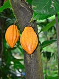 Cocoa pods. On tree (species name: Theobroma cacao), ripe and ready for cocoa harvesting Stock Photography