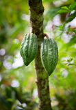 Cocoa pods on the tree Stock Photography