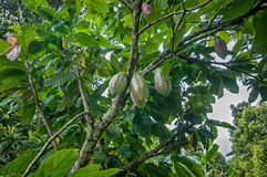 Cocoa pods. On a tree Royalty Free Stock Photo