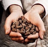Cocoa seeds. Hands holding fresh cocoa seeds Royalty Free Stock Images