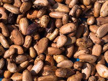 Cocoa seeds Royalty Free Stock Image