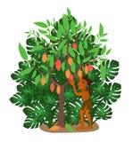 Cocoa tree Royalty Free Stock Photos