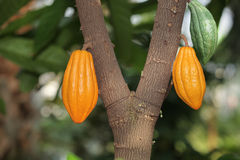 Cocoa Tree Stock Images