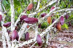 Cocoa Tree. Image of a cocoa tree at a plantation in Malaysia Royalty Free Stock Images
