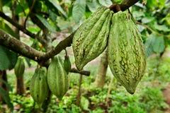 Cocoa tree with fruit stock photos