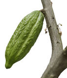 Cocoa Tree With Fruit Royalty Free Stock Photos