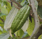 Cocoa Tree With Fruits Stock Photo