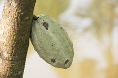 Cocoa Tree. Stock Images