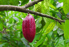 Cocoa tree with pods Royalty Free Stock Photography