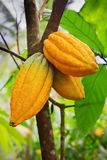 Cocoa tree with pods Stock Photos