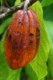 Cocoa tree with pods Stock Photo