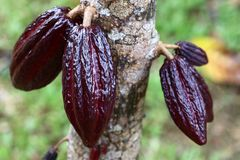Cocoa tree with pods Stock Images