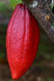 Cocoa tree with pods Royalty Free Stock Image
