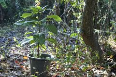 Cocoa tree which manages planting in pot. At the farm royalty free stock image