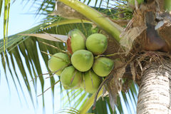 Cocoanut on coconut tree in garden Thailand. Cocoanut on coconut tree in garden Thailand,This plant of palm and found throughout in seaside tropical Royalty Free Stock Images