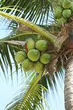 Cocoanut on coconut tree in garden Thailand. Cocoanut on coconut tree in garden Thailand,This plant of palm and found throughout in seaside tropical Royalty Free Stock Photography