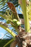 Cocoanut on coconut tree in garden Thailand. Cocoanut on coconut tree in garden Thailand,This plant of palm and found throughout in seaside tropical stock photography