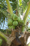 Cocoanut on coconut tree in garden Thailand. Cocoanut on coconut tree in garden Thailand,This plant of palm and found throughout in seaside tropical stock image