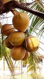 Cocoanut. Hybrid cocoanut specie stock images