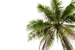 Cocoanut tree isolated on white background.  royalty free stock photography