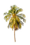 Cocoanut tree isolated on white background.  stock photos