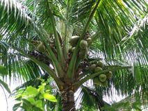 Cocoanuts, гайка Coker, масло, плодоовощи, еда, Dekko, прозванная вода, стоковое изображение rf