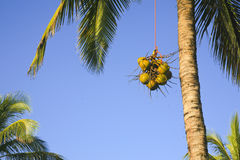 Cocoanuts Being Lowered from Cocoant Palm Tree Stock Images