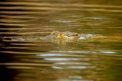 Cocodrile no rio Fotos de Stock Royalty Free
