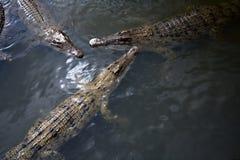 cocodrile trzy Zdjęcie Royalty Free