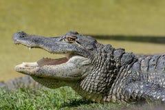 cocodrilo Foto de archivo