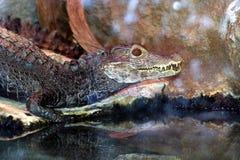 cocodrilo Foto de archivo libre de regalías