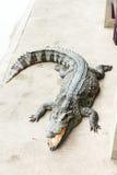 Cocodrilo adulto del agua dulce de Tailandia fotos de archivo libres de regalías