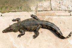 Cocodrilo adulto del agua dulce de Tailandia imagenes de archivo