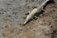 Cocodrilo americano (acutus del Crocodylus) Fotos de archivo libres de regalías