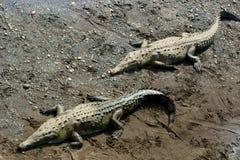 Cocodrilo americano (acutus del Crocodylus) Foto de archivo