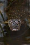 Cocodrilo americano en el agua Imagen de archivo libre de regalías